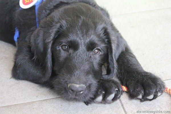 Igor chien guide d'aveugle