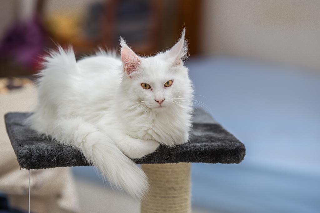 Le Maine Coon est le plus beau chat du monde