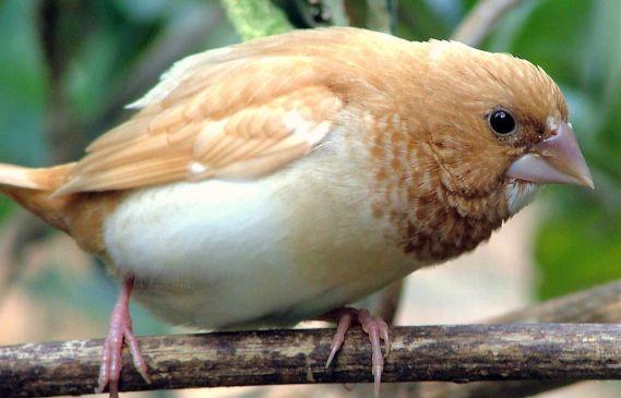 Oiseaux d'appartement : Moineau du Japon