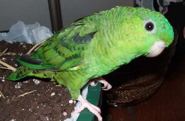 Oiseau pour vivre en appartement : Touï Catherine