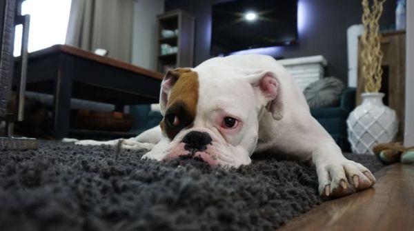 comment empêcher un chien de monter sur la table