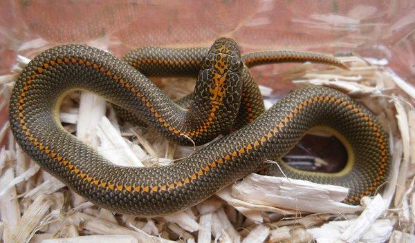 Le serpent des maisons est un serpent calme et docile idéal pour débutant