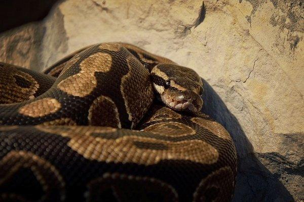 Le python royal est un serpent très populaire