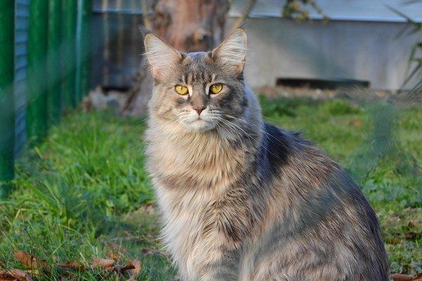 Races de chats qui aiment l'eau : Maine Coon