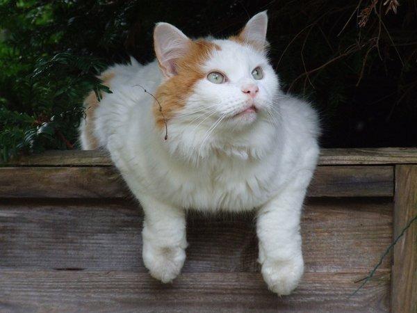 Races de chats qui aiment l'eau : Turc de Van
