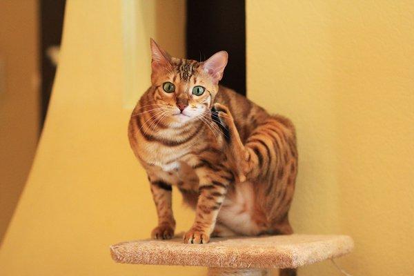 Races de chats qui aiment l'eau : Bengal