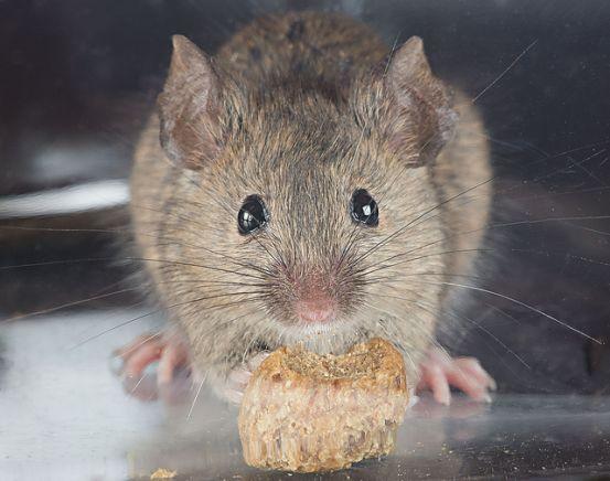comment nourrir une souris domestique