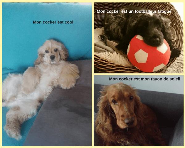 photos race de chien cocker anglais