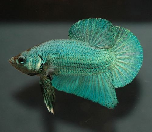 Bien d buter avec betta splendens for Prix poisson aquarium