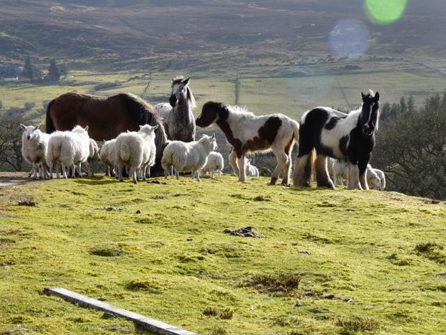 cohabitation cheval mouton