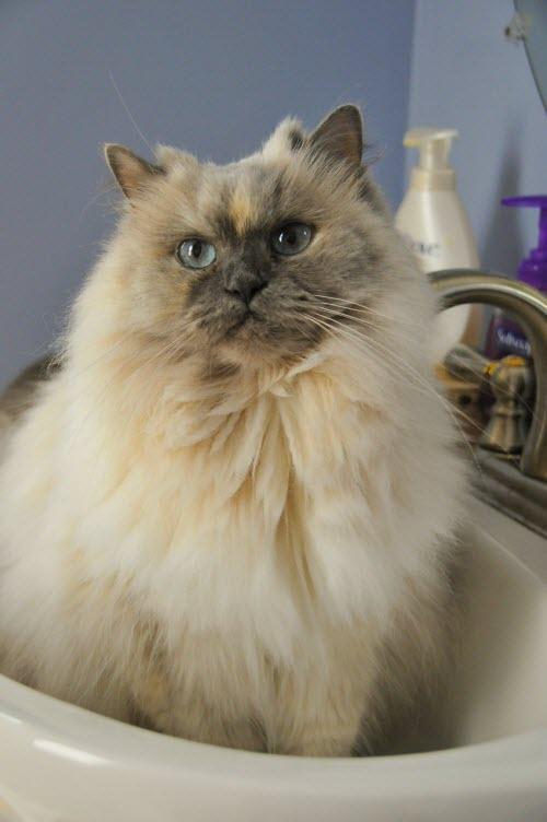 toilettage du chat t