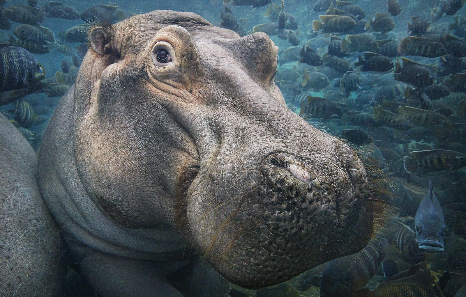 photo hippopotame sous l'eau