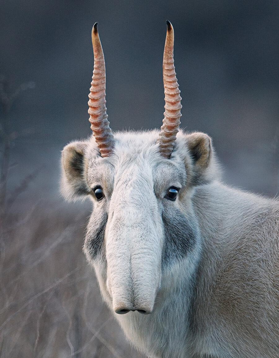 photo antilope Saïga