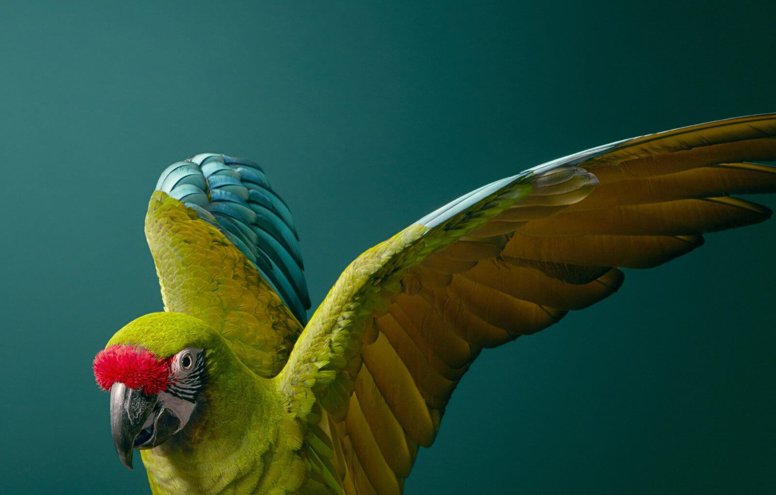 photo perroquet Ara militaire
