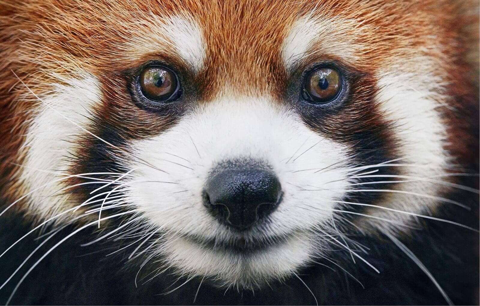 photo panda roux