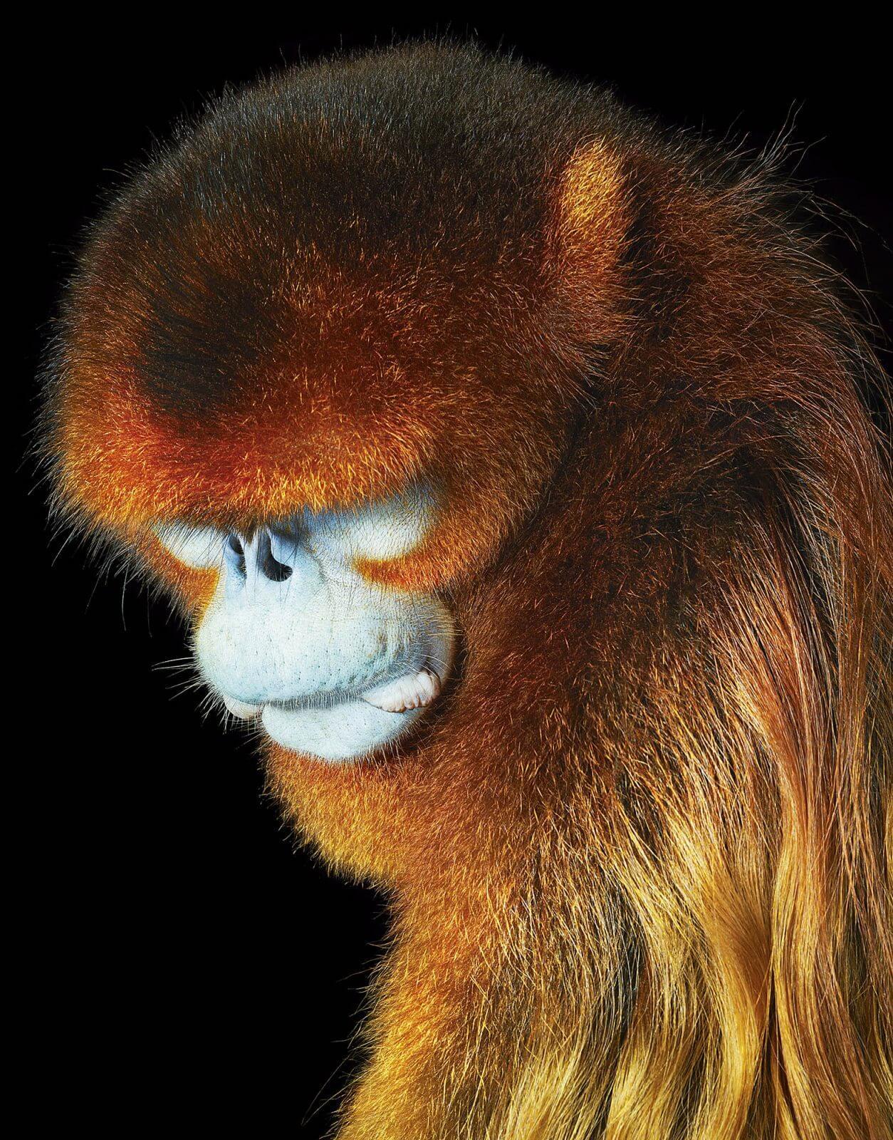 photo primate Rhinopithèque de Roxellane