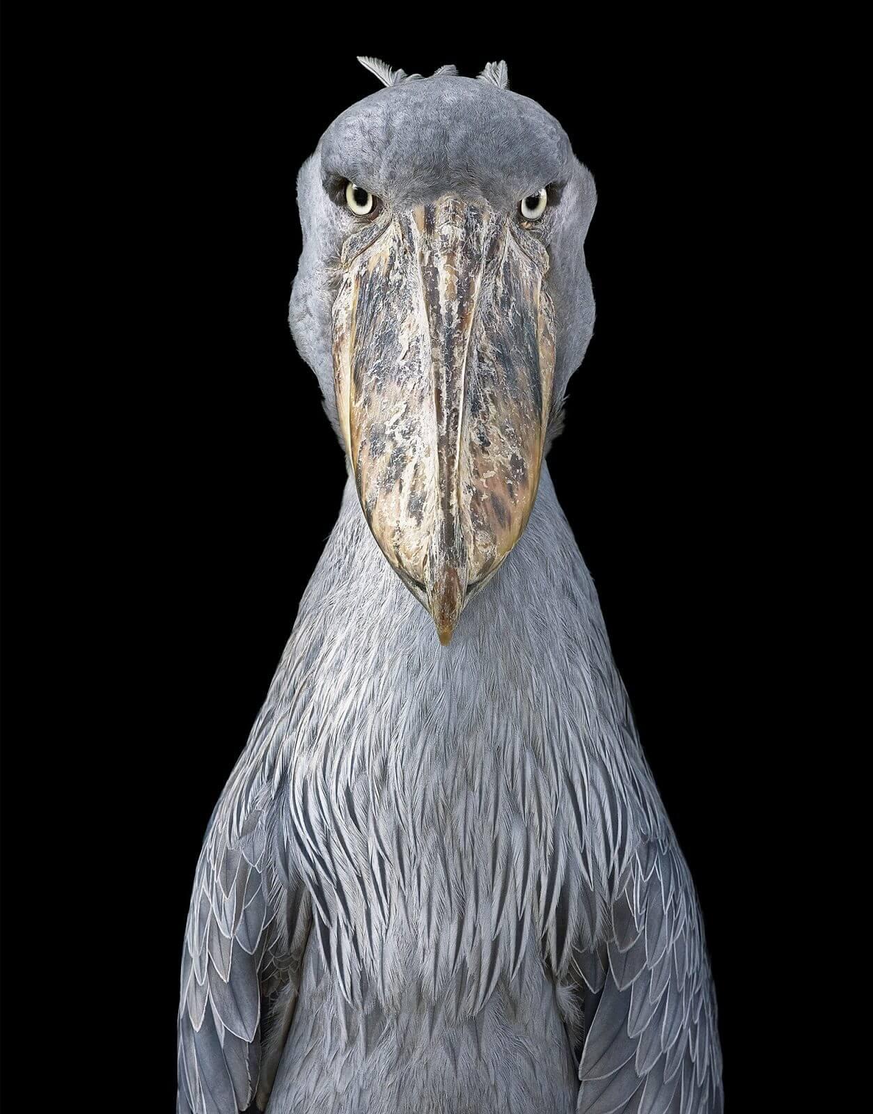 photo oiseau Bec-en-sabot du Nil