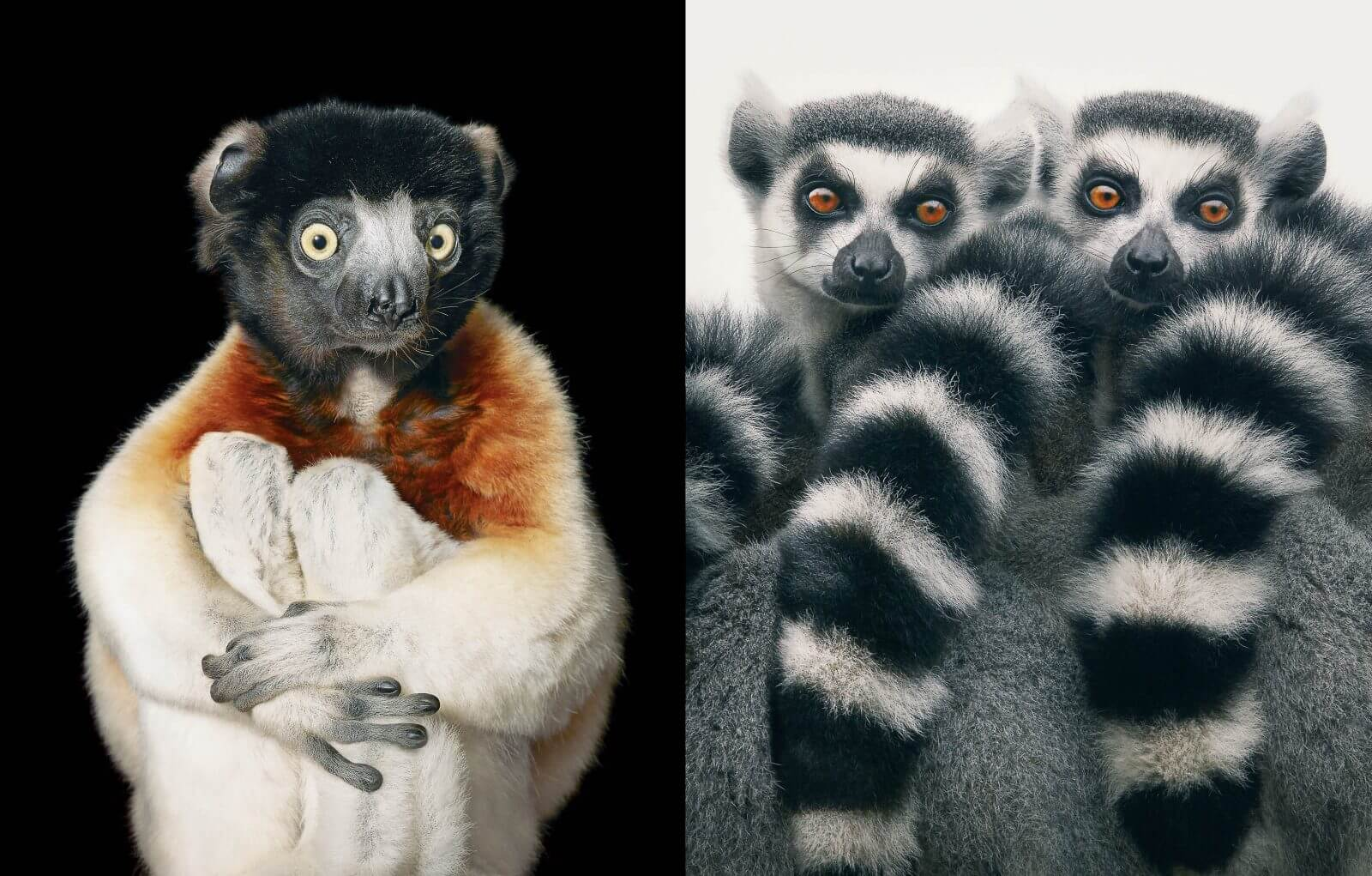 photo primate Sifaka de Tattersall