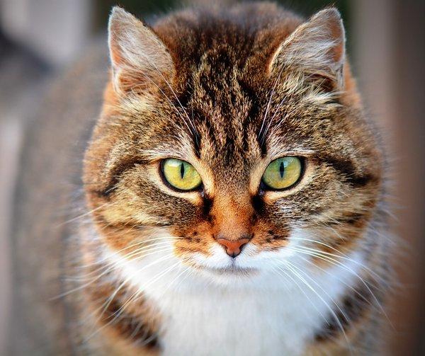 huiles essentielles pour chat