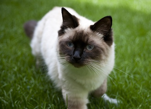 race de chat Ragdoll