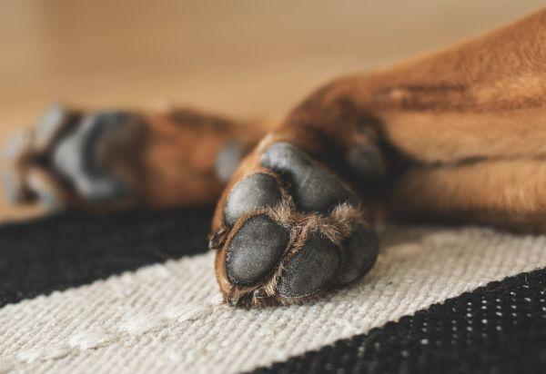 protéger les pattes et les coussinets de son chien