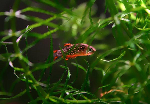 petit aquarium : Microrasbora Galaxy