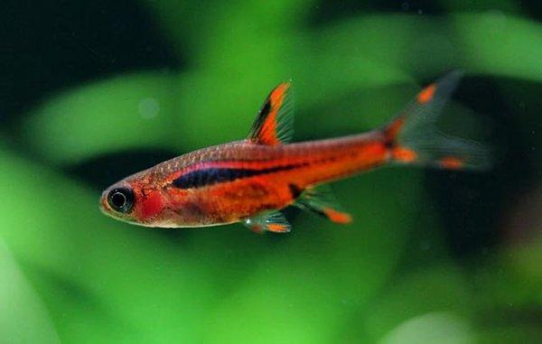 petit aquarium : Boraras
