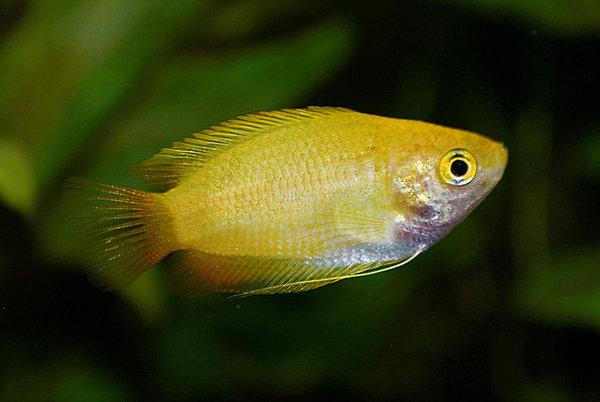 petit aquarium : Gourami