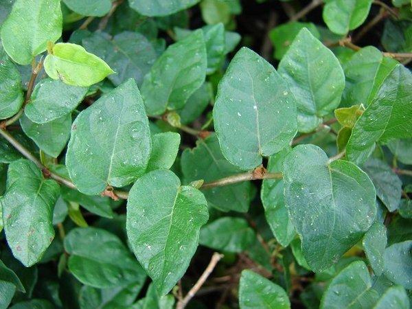 plantes pour gecko : Ficus pumila