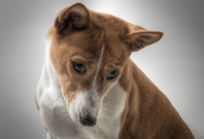 chiens et froid : le Basenji