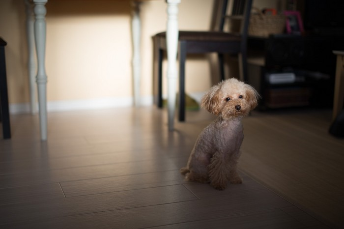 chiens et froid : le Caniche toy