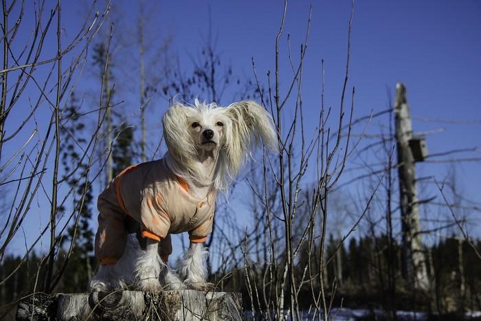 races qui craignent le froid : le chien chinois à crête