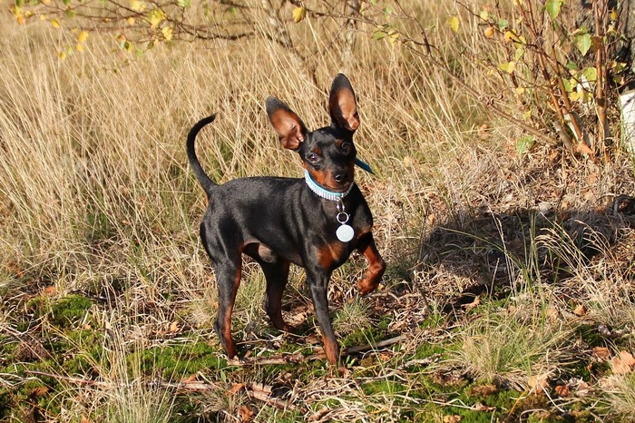 chiens sensibles au froid : le Pinscher nain