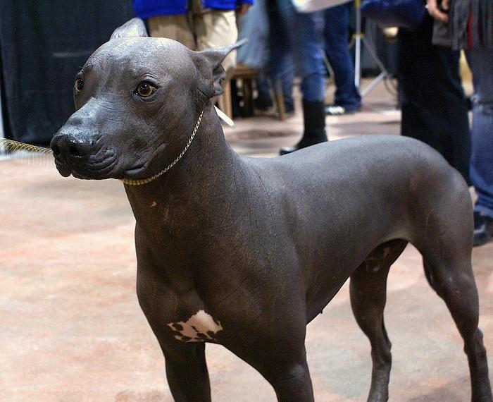 chiens et froid : chien nu du Mexique