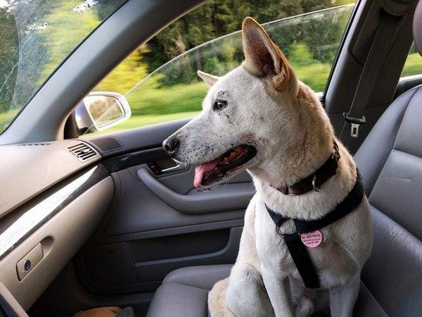 comment transporter son chien en voiture