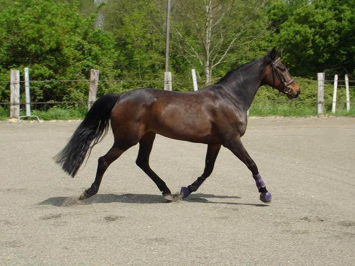 races de chevaux : trotteur français