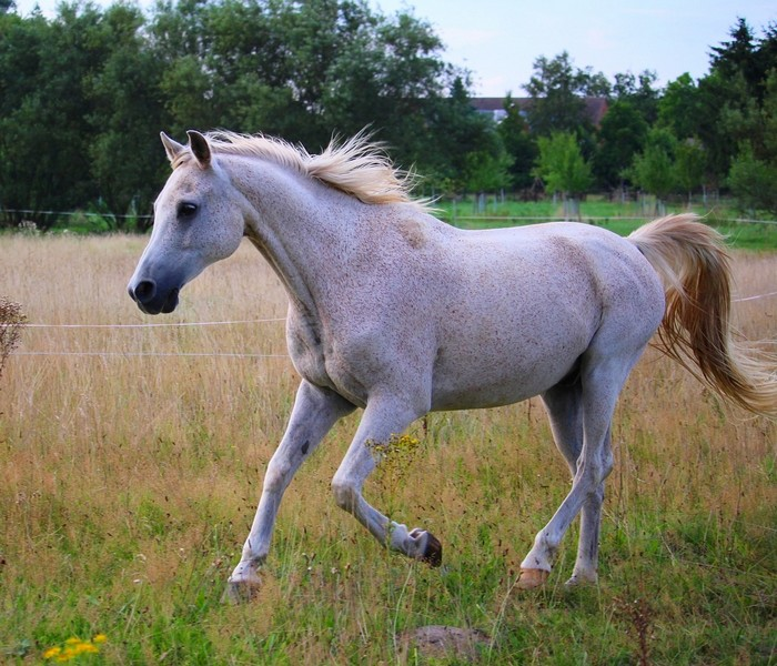 races de chevaux : arabe