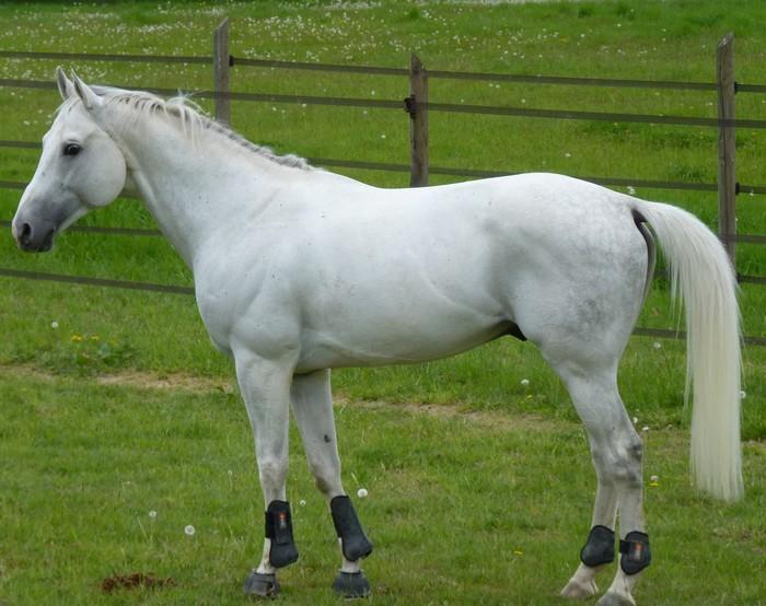 races de chevaux : Anglo-arabe