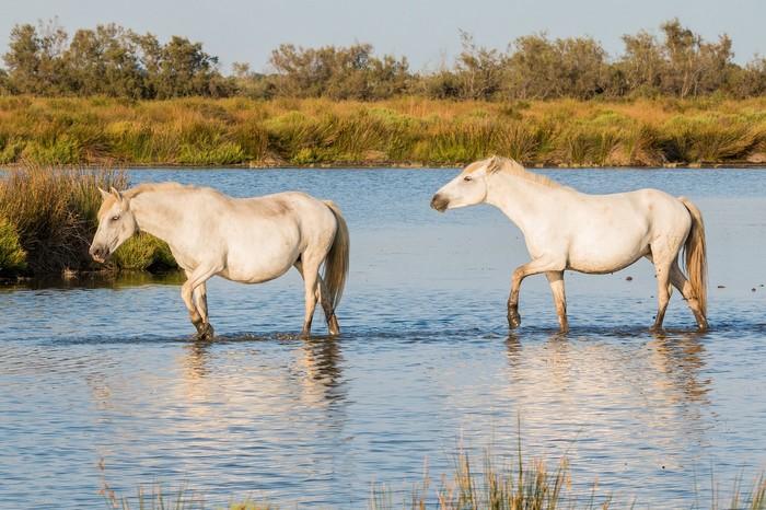 races de chevaux : Camargue