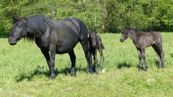 races de chevaux : Mérens