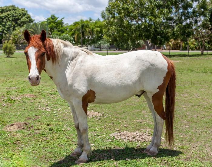 races de chevaux : Paint Horse