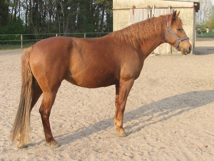 races de chevaux : Barbe