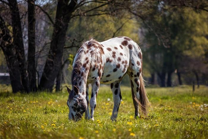 races de chevaux : Appaloosa