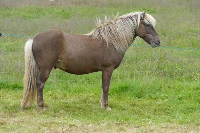 races de chevaux : Islandais