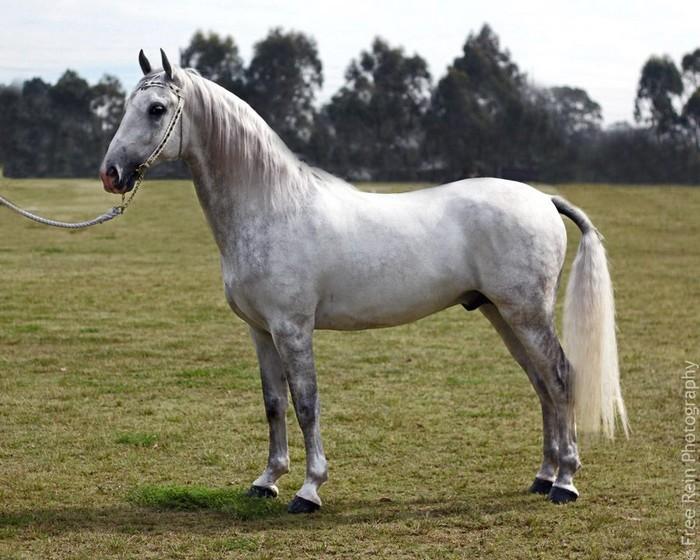 races de chevaux : Lippizzan