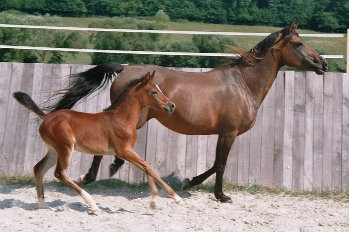 races de chevaux : Shagya