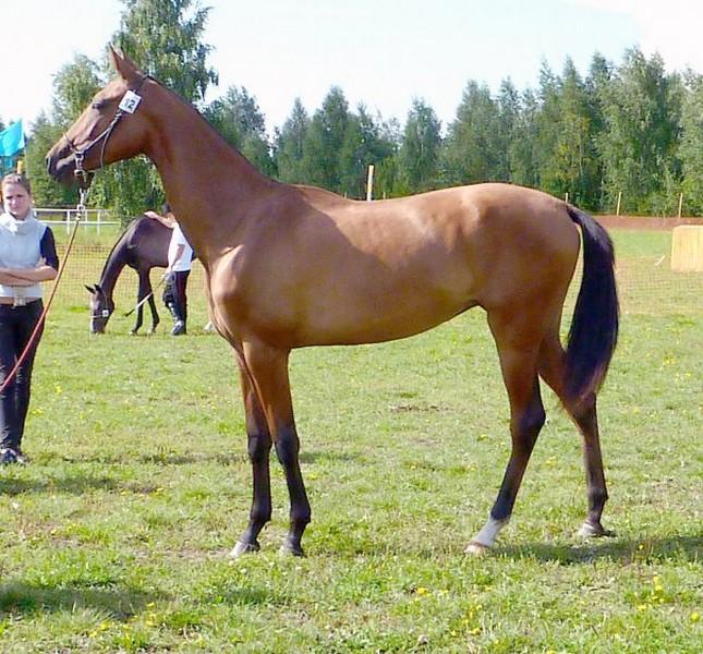 races de chevaux : Akhal-Teke