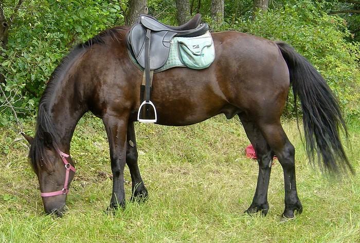 races de chevaux : Cheval de race Auvergne