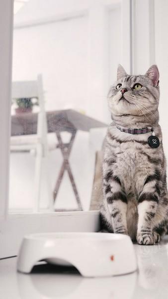 L'Américan Shorthair : race de chat qui s'entend bien avec des chiens