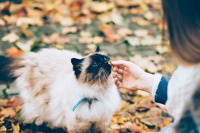 races de chat qui s'entendent bien avec les chiens
